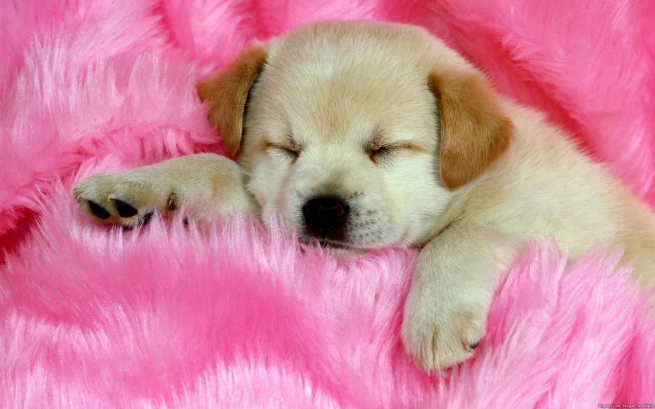 Animal - Cute  Dog Puppy Sleeping Labrador Wallpaper